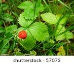 wild strawberry | Shutterstock . vector #57073