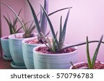 Aloe Vera In The Blue Pots