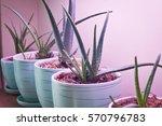 Aloe Vera In The Blue Pots