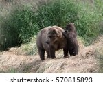 Small photo of Alaskan brown bear sow and its cub play along the shore of the Brooks River in Katmai National Park, Alaska