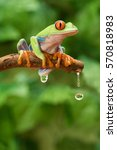 Small photo of Red Eye Tree Frog Agalychnis callidryas dripping water on a stick in the forest.