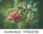 red bunch of rowan on a green...   Shutterstock . vector #570826783