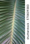coconut leaf pretty | Shutterstock . vector #570839383