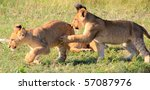 Lion Cubs Running And Wrestlin...