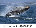 breaching humpback whale   ... | Shutterstock . vector #570889243