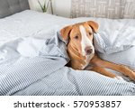 young fawn mixed breed puppy... | Shutterstock . vector #570953857