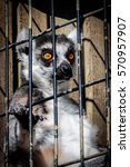 Lemur In A Cage Close Up