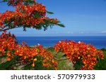 Small photo of Flamboyant tree in full bloom with an ocean view in La Reunion, France