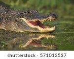 Small photo of Alligator (Alligator. mississippiensis) - Southern Texas