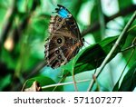 clipped wing butterfly | Shutterstock . vector #571107277