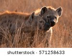 spotted hyena  crocuta crocuta  ... | Shutterstock . vector #571258633