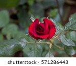 isolated red rose bud... | Shutterstock . vector #571286443