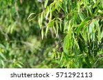 Eucalyptus Leaves As Background