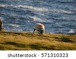 Grazing Ram   Achill Island...