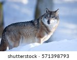 gray wolf  grey wolf  canis... | Shutterstock . vector #571398793