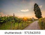 grape harvest   Shutterstock . vector #571562053