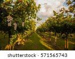 grape harvest | Shutterstock . vector #571565743