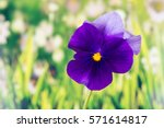 Flowers   Pansy
