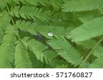 climbing wattle green leaf... | Shutterstock . vector #571760827