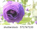 purple rose | Shutterstock . vector #571767133
