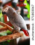 Small photo of African Gray Parrot perched on a branch.