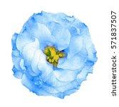 surreal blue rose flower...   Shutterstock . vector #571837507
