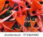 bustard teak  bengal kinu | Shutterstock . vector #571864483