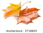 Two Maple Leaves  Lying On White
