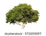trees isolated on white... | Shutterstock . vector #572055097