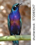 the glossy starling ... | Shutterstock . vector #572085247