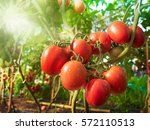 tomato fruit with water drop... | Shutterstock . vector #572110513