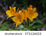"Small photo of Wild flowers known as ""Amancay"" (Alstroemeria aurea)"