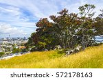 Small photo of Pohutukawa Tree on Mt Hobson Auckland New Zealand