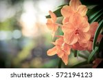 close up orchids and bokeh...   Shutterstock . vector #572194123