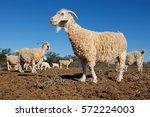 angora goats on a rural african ... | Shutterstock . vector #572224003