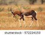 endangered bontebok antelope ... | Shutterstock . vector #572224153
