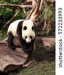 Small photo of Young giant panda bear known as Ailuropoda melanoleuca on the hunt for bamboo to eat.