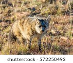 Small photo of Closeup of an Aardwolf foraging in Southern African savanna at dusk