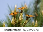 monarch butterflies perched on... | Shutterstock . vector #572292973