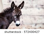 Cute Baby Donkey Portrait...