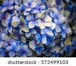 closeup of blue hydrangea... | Shutterstock . vector #572499103