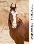 Small photo of Portrait of a chestnut marwari horse.