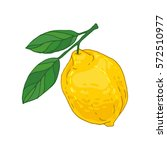 hand drawn vector juicy lemon... | Shutterstock .eps vector #572510977