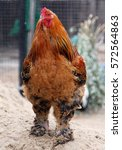 Small photo of Portrait of a beautiful colorful rooster (Brahma breed of chicken)