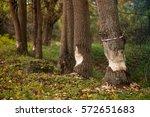Beavers Building A Dam In A...