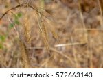 Gold Grass Stalk In A Dried...