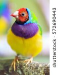 The Gouldian Finch  Erythrura...