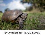 A Gopher Tortoise Walking In...
