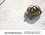 Sulcata Turtle Walking On The...