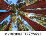 redwood tree in sequoia...